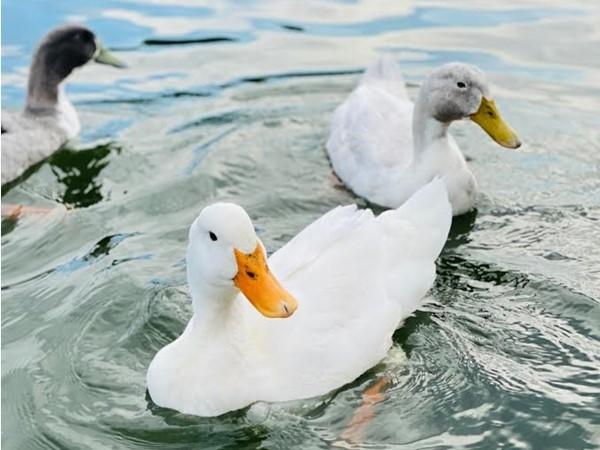 Friendly Geese on the lake at Raintree Lake