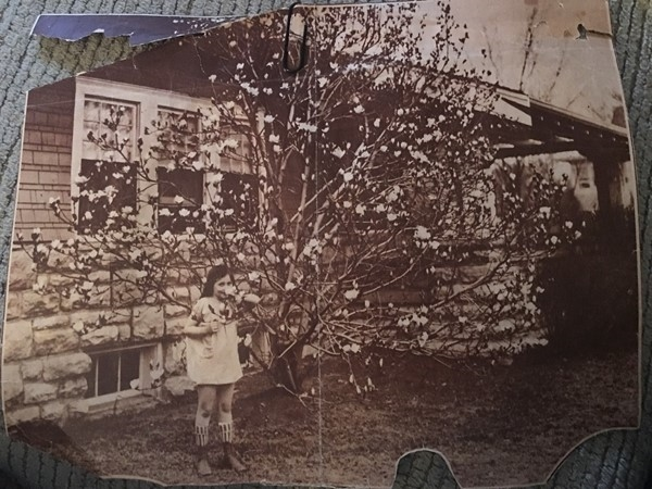 Magnolia tree along Brookside Blvd circa 1927. This tree is still standing today