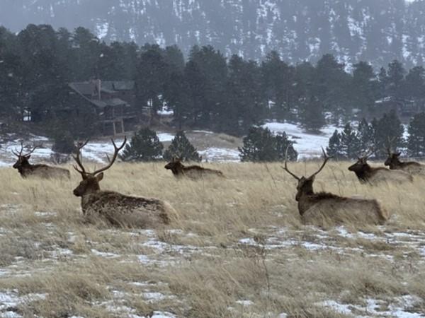 Elk in the neighborhood