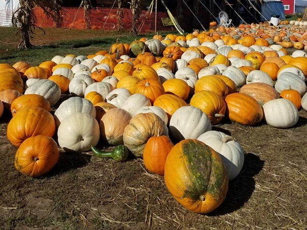 Pumpkins galore at Fun Farm Pumpkin Patch