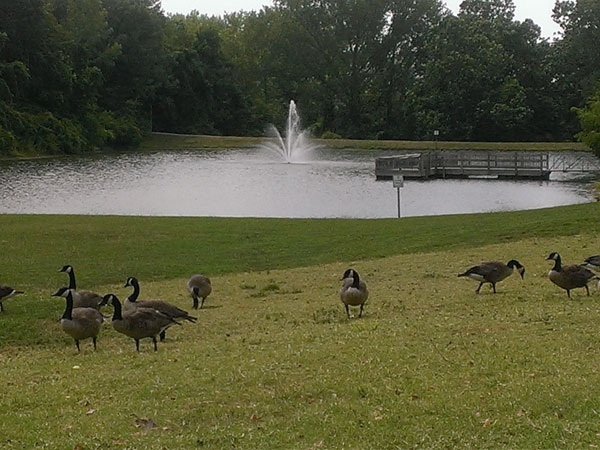 Happy geese stroll together at the waters edge.