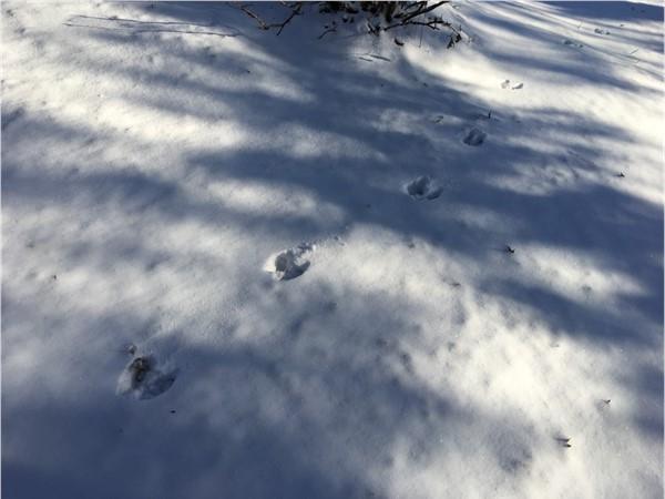 Deer tracks in the snow in Edgerton