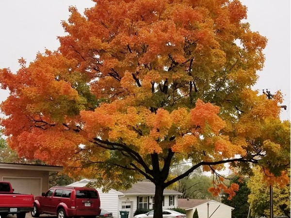 Gladstone trees are on fire this time of year! So beautiful