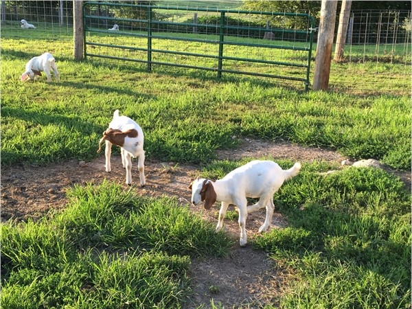 Happy little goats in Camden Point