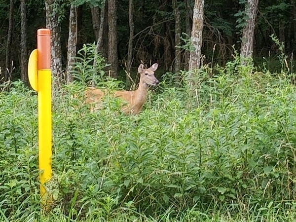 A picture of a deer near Longview Farms