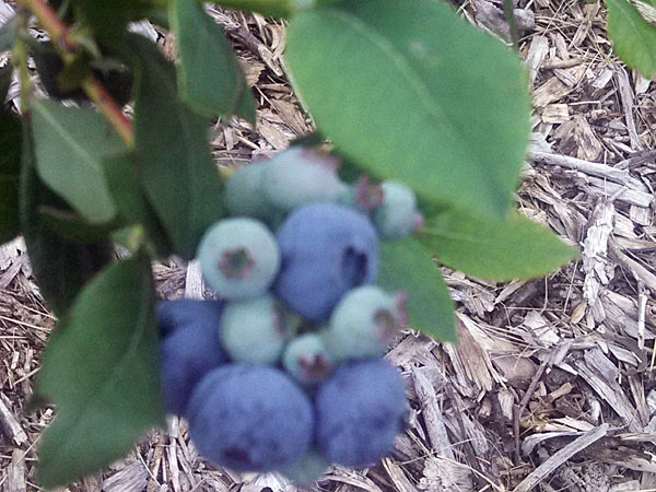 Jumbo sized blueberries, ripe for the picking, each year at the Berry Patch. Don't miss it