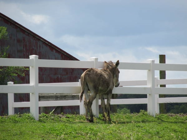 My little buddy Fonzie, resident donkey at a listing near Trimble, MO