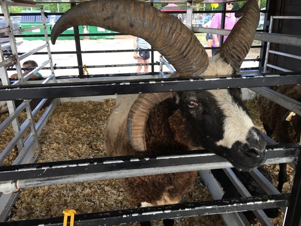 Petting Zoo at the Platte County Fair