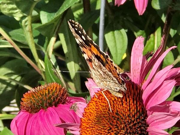 Monarch's enjoying the Indian summer