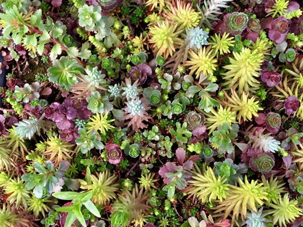 It's time to get outside and plant! This gorgeous succulent ground cover is found at Lowe's