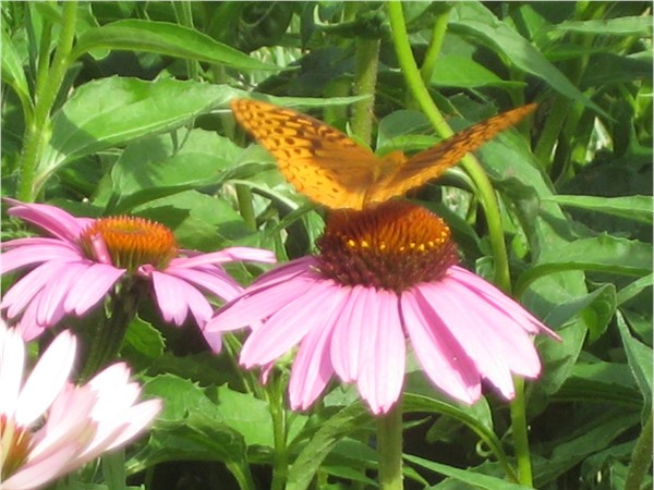 Cone flowers are in bloom along the Platte County walking trails