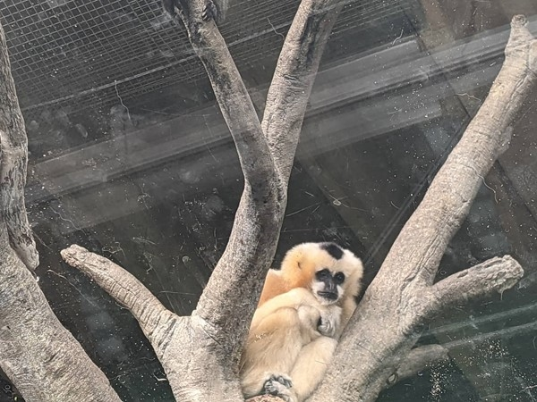 The Kansas City Zoo has the cutest little baby Gibbon