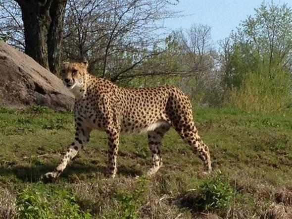 Cheetah at Kansas City Zoo