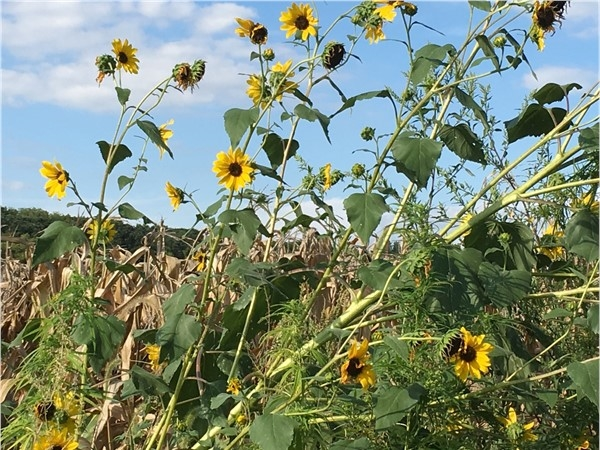 Platte County sunflowers
