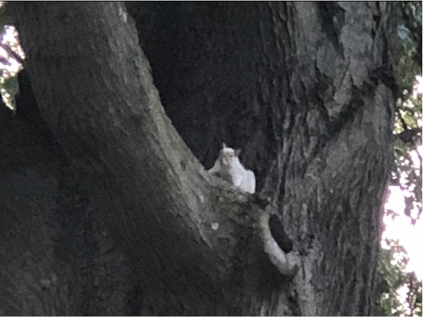 All-white squirrel I spotted in Mohawk Hill