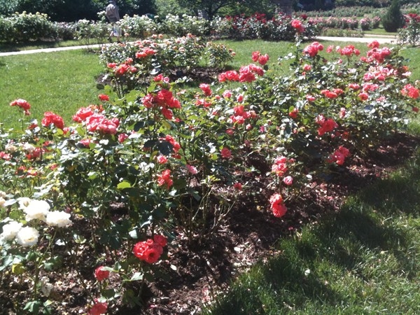 Beautiful roses at Loose Park