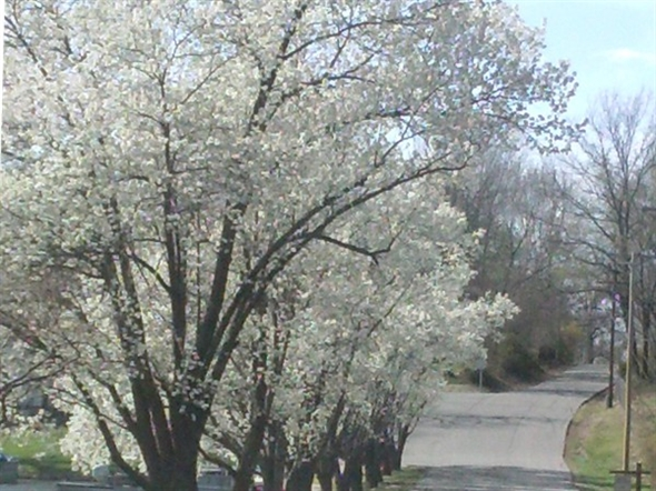 The trees in bloom usher in spring in Lake Tapawingo