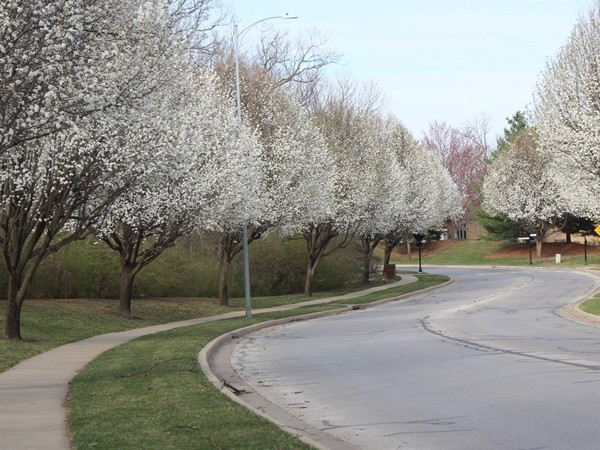 Bradford Pear trees already in bloom along Riss Lake Drive