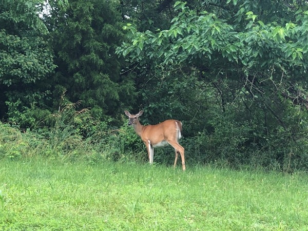 Beautiful mama deer eating her greens in this fabulous neighborhood
