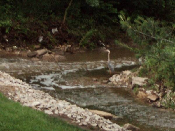 A Blue Heron fishing in the creek during a light rain.  Photo's taken off of the deck