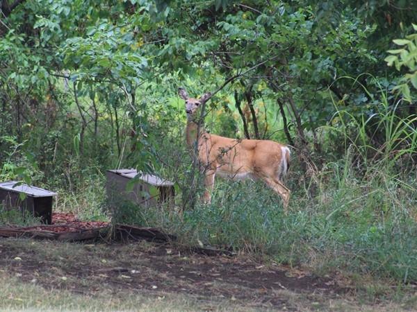"""A """"neighbor"""" enjoying the wooded area surrounding Barrybrooke on the Lake"""