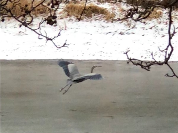 Blue heron flying over the pond at the front entrance of lower Canterbury