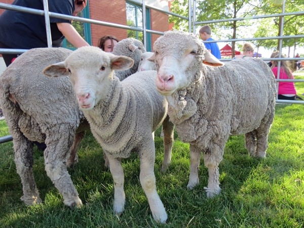 Sheep at the Fourth Friday Event in Olathe