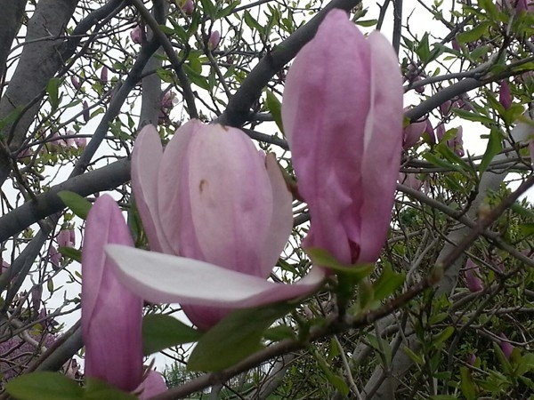 It's spring and the Magnolia trees are in bloom