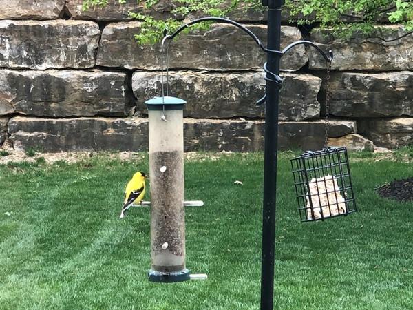 Love my sweet yellow finch...Tweetie