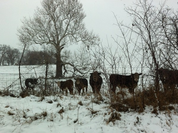Cows don't seem to mind the cold and snow like we do
