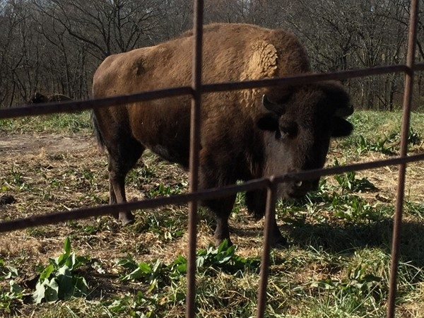 Come see the buffalo at the Shoal Creek Living History Museum