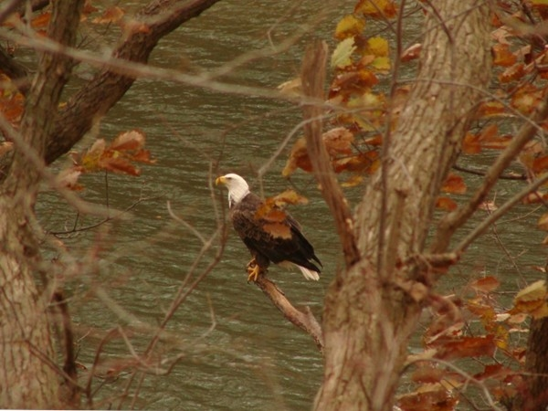 Majestic bald eagle looking over Riss Lake.