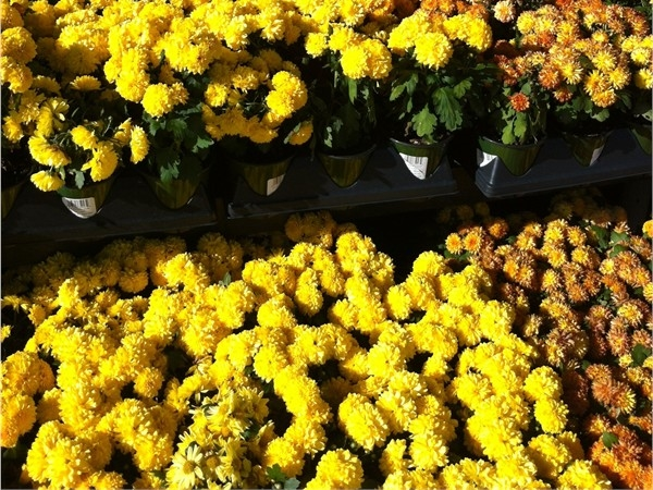 If you see mums, it must be fall in the Northland