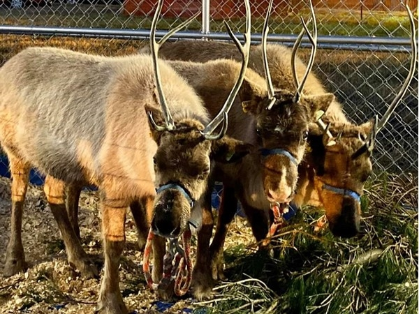 Yes, we had reindeer at our Storybook Christmas. Santa loves his reindeer
