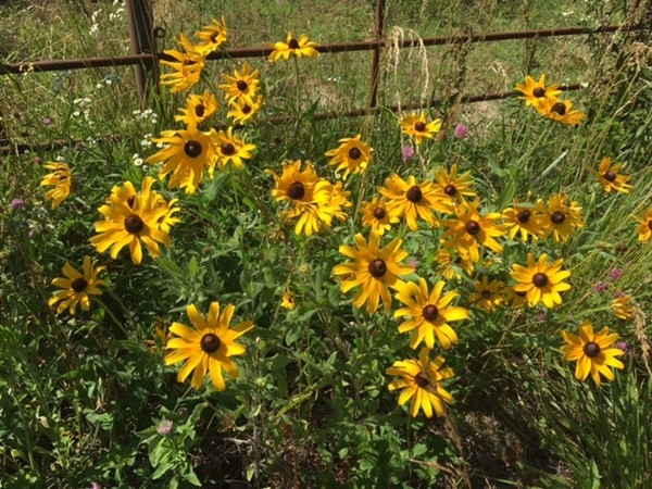 Missouri Wildflowers always make a drive in the country beautiful