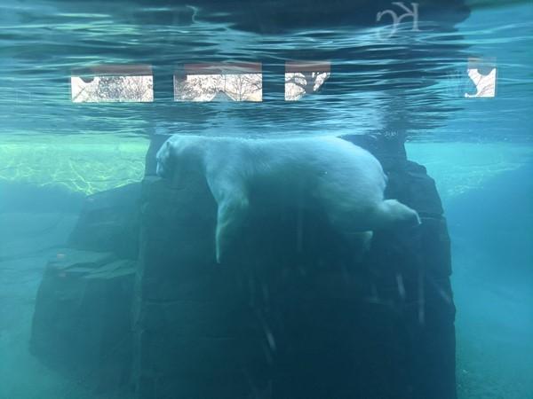 Watch polar bears swim at the Kansas City Zoo