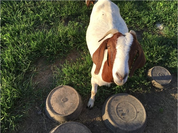 This friendly goat loves living in the Northland with wide open spaces