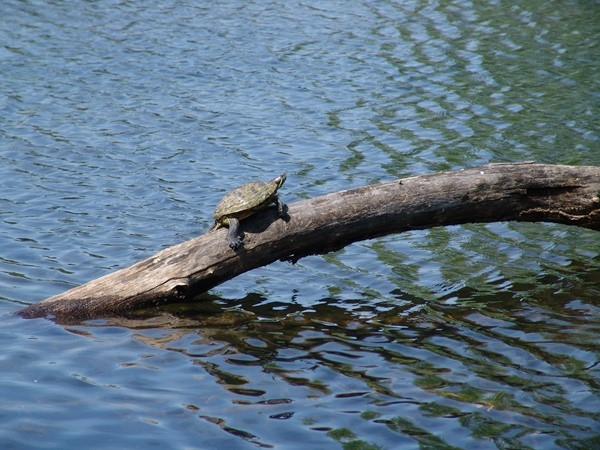 Turtle basking in the sun at the lake in Falcon Ridge