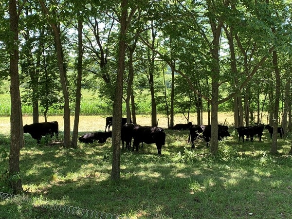 Happy cows taking a rest in the shade