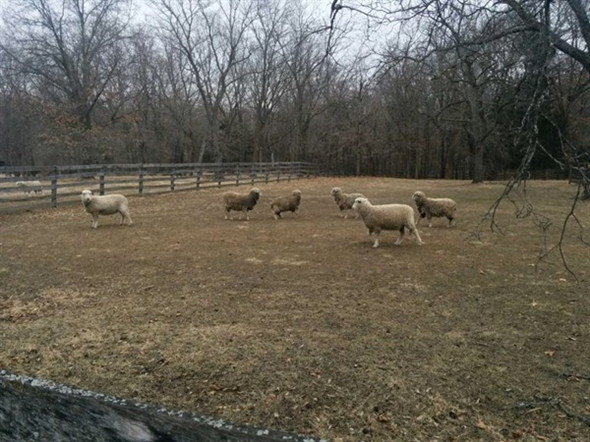 Sheep at the Watkins Woolen Mill