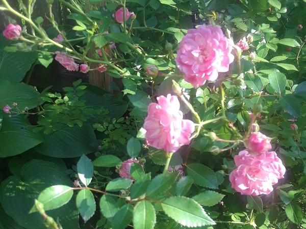 Rose's are in full bloom