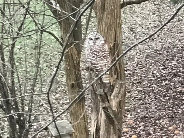 Look at this beautiful owl in Nottingham Estates