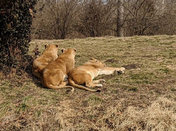 Lions at the KC Zoo are actually male. They don't have manes, since they were neutered young