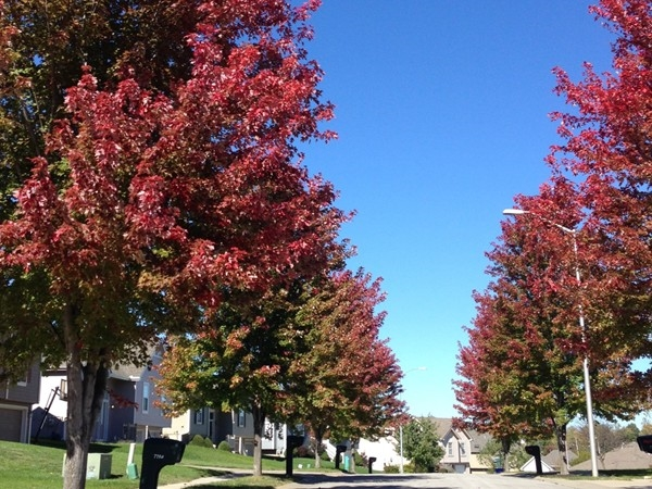 Maple rees line the streets in Claybrook Subdivision