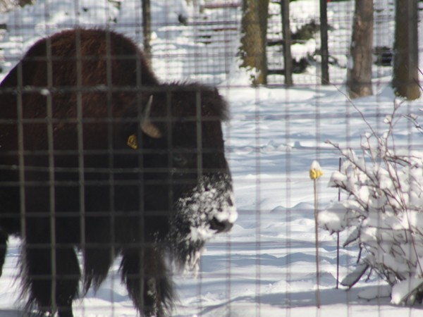 Buffalo walking in the snow after a February snowstorm