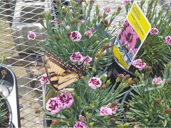 Beautiful Butterfly at the Hamilton Lowes