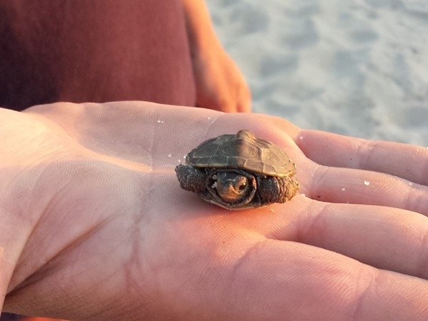 Spotted a baby Terrapin on our walk to the Delaware Bay Beach
