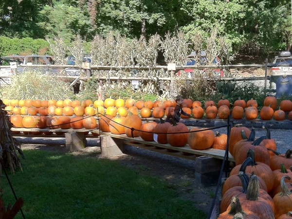 Abma's Farm is a great place for picking pumpkins with the kids