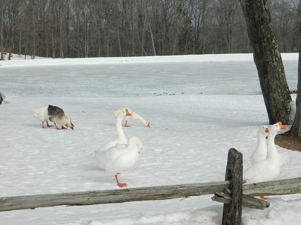 These little guys said they had enough of winter and want to be swimming in their pond!