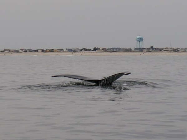 A humpback whale right off the beach of Ship Bottom! November 9, 2014